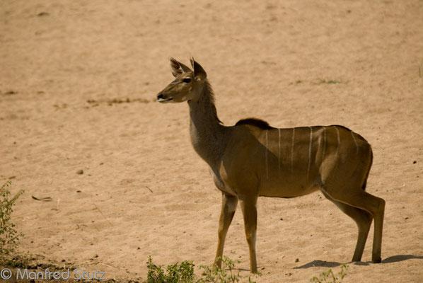 Ruaha NP: Weibliches grosses Kudu