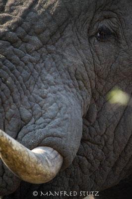 KNP: Grossaufnahme Elefant