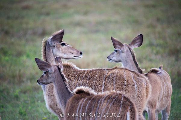 Makakatana Bay Lodge: Greater Kudu (Grosser Kudu)