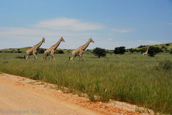 Empfangskomitee im Kgalagadi National Park (KNP)