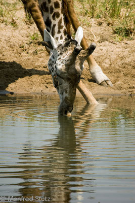 Ruaha NP: Giraffe beim Trinken