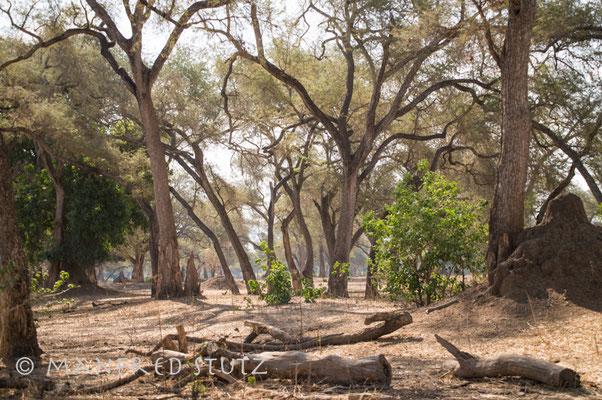 Das ist der Grund warum man hier Aussteigen darf: Die vielen hohen Bäume, die eine weite Sicht erlauben!