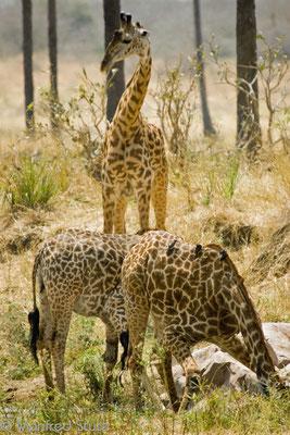 Ruaha NP: Auch hier gibt es Giraffen