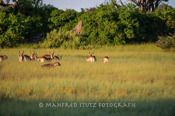Mombo: Spotted Hyaena and Red Lechwe (Tüpfelhyäne und Rote Moorantilope)