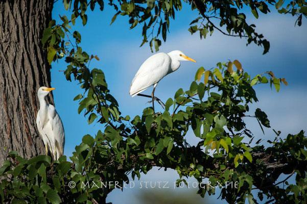 Duma Tau Camp: Cattle Egret (Kuhreiher)
