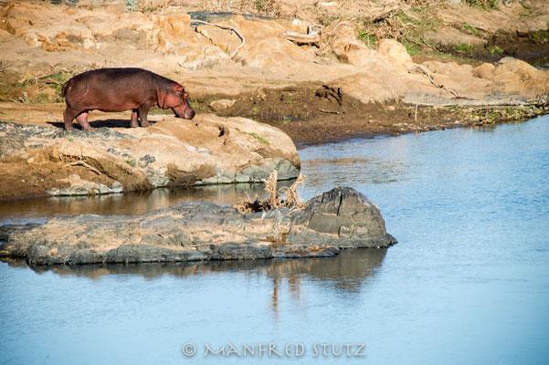 KNP: Flusspferd am Olifants-Fluss