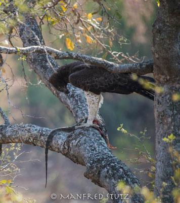KNP: Martial Eagle (Kampfadler) mit Beute