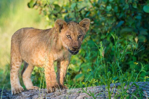 Duma Tau Camp: Löwenfamilie beim Fressen