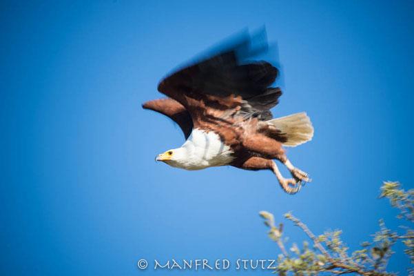 KNP: African Fish Eagle (Schreiseeadler)