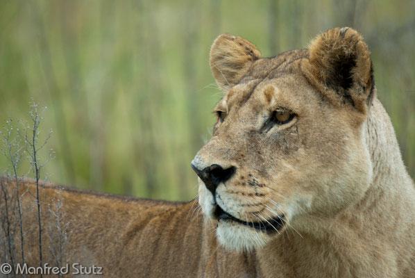Aufmerksame Löwin