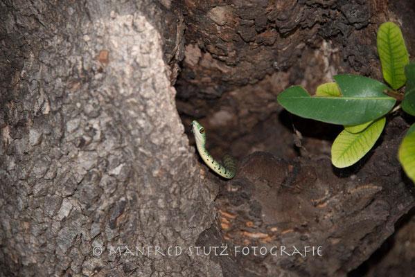 Während der Siesta entdeckt im Camp von Little Vumbura: Spotted Bushsnake (Gefleckte Buschschlange)