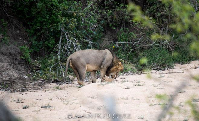 KNP: Löwe mit Baby