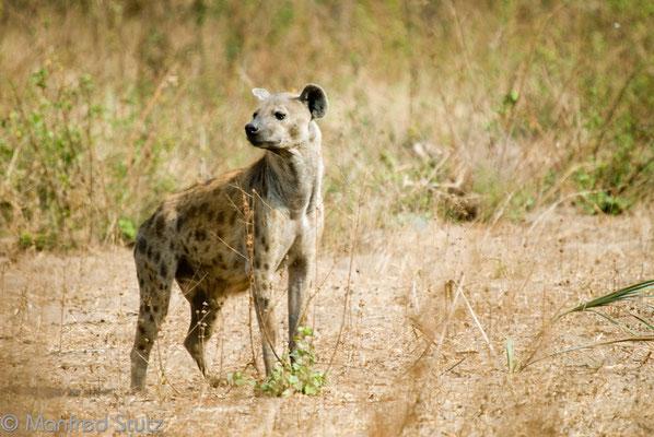 Katavi NP: Tüpfelhyäne (Spotted Hyena)