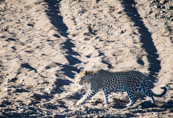 Mashatu: ...und schon wieder ein Leopard...