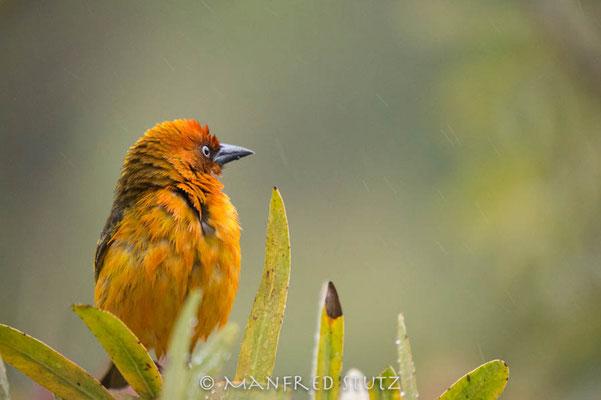 Drakensberge: Cape Weaver (Kapweber)