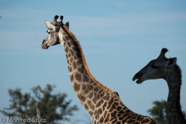 ... ebenso die Giraffen