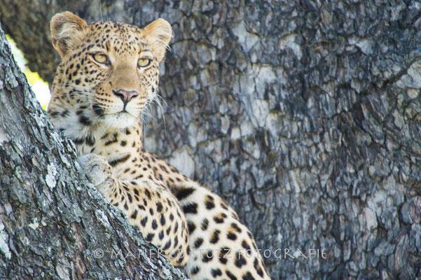 Little Vumbura: Junge Leopardin