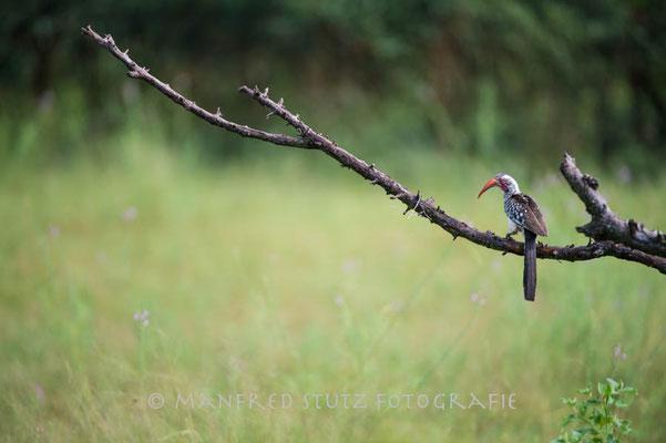 Im Regen... Southern Red-billed Hornbill (Rotschnabeltoko)