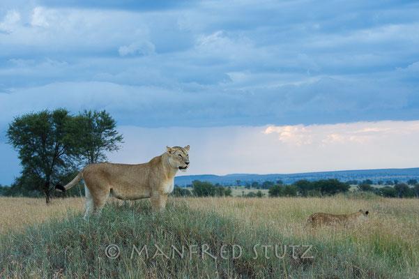 Eine Löwin hält Ausschau damit die anderen in Ruhe fressen können.