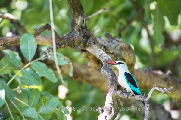 Unterwegs im Mombo: Woodland Kingfisher (Senegalliest)