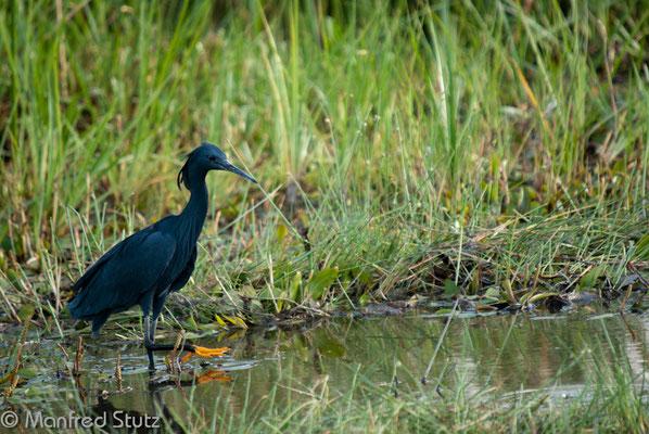Glockenreiher (Black Heron)