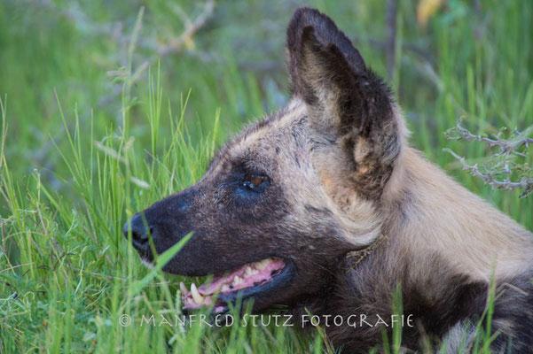 noch ein Filmstar: Solo der letzte Wildhund in Mombo