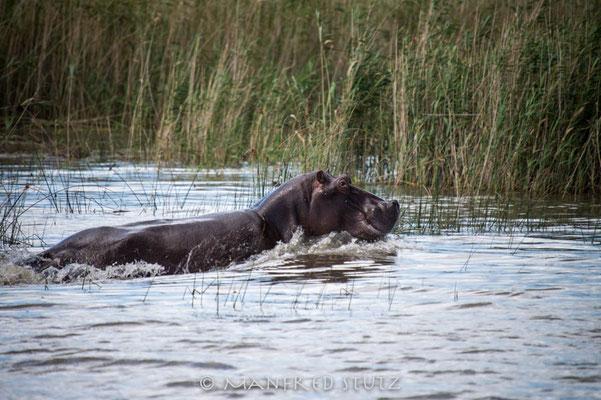 Makakatana Bay Lodge: Hippo im Wasser....