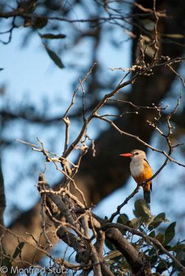Graukopfliest (Grey-headed Kingfisher)