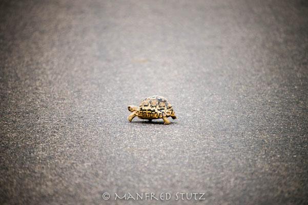 KNP: Leopard Turtoise