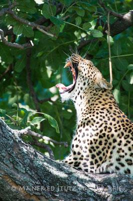 Legadema die Leopardin aus dem Film: The Eye of the Leopard