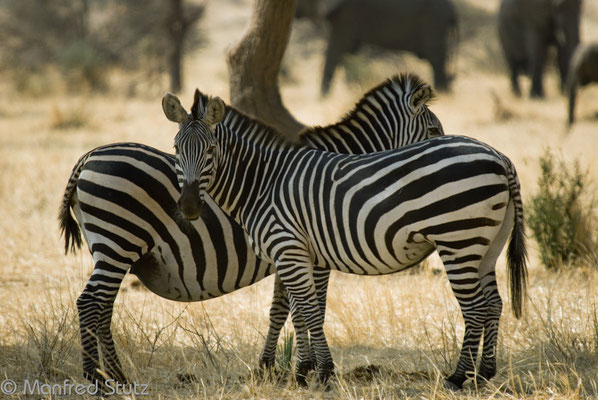 Ruaha NP: Zebras