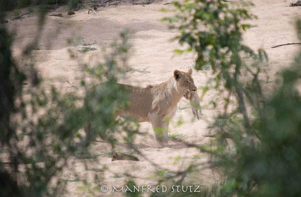 KNP: Löwin mit Baby