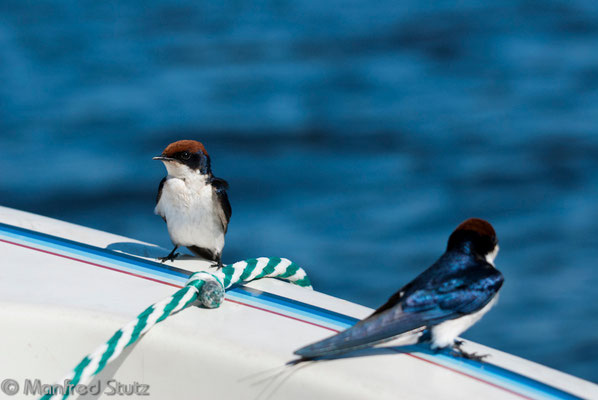 Rotkappenschwalbe (Wire-tailed Swallow)