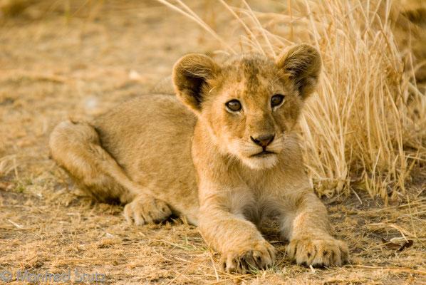 Katavi NP: Süsse Löwenbabies