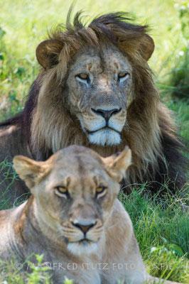 Der schönste Löwe Afrikas!