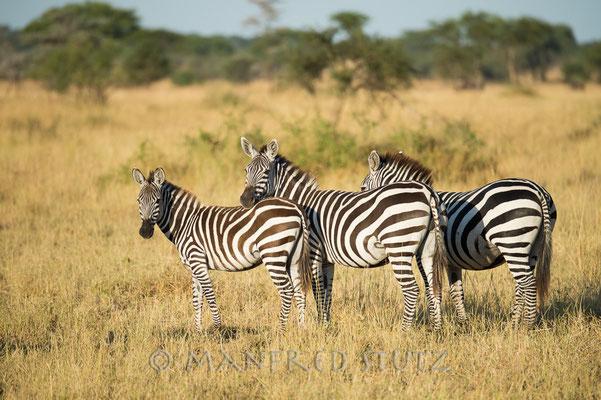 Typisch Afrika... Zebras...