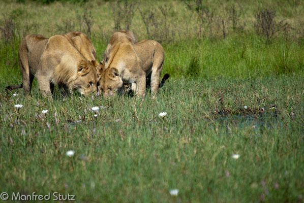 Löwen am Trinken