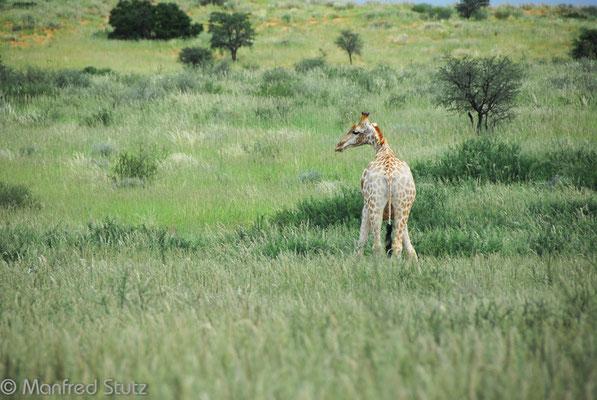 KNP: Giraffen