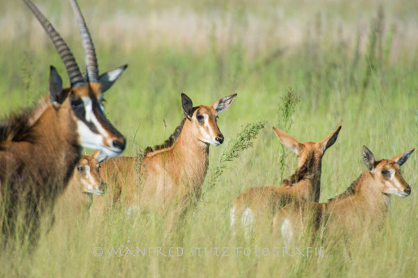 Little Vumbura: Sable antelope (Rappenantilope)