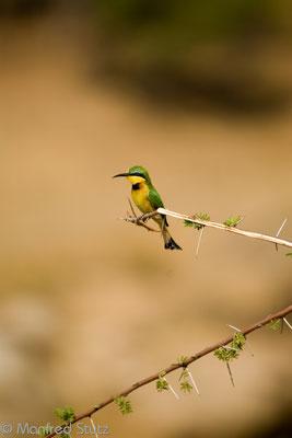 Ruaha NP: Zwergspint (Little bee-eater)