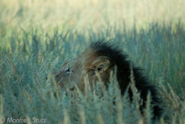 KNP: Löwenmännchen neben einem Kill