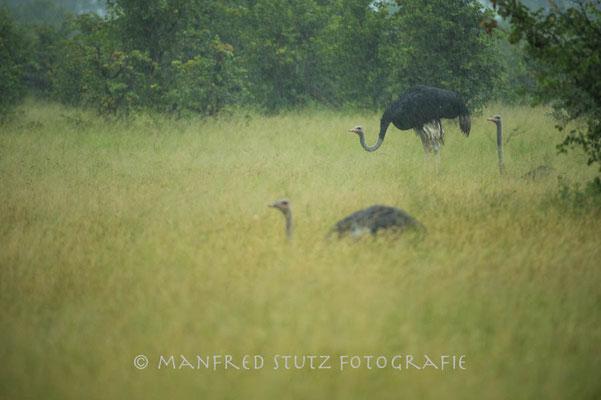 Im Regen... Ostrich (Strauss)