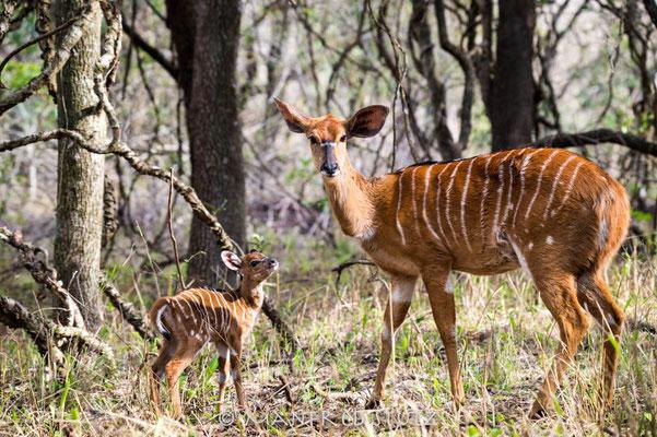 Mkhaya GR, Swaziland: Bushbuck (Buschbock)