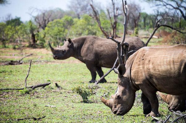 Mkhaya GR, Swaziland: Breit- und Spitzmaulnashorn