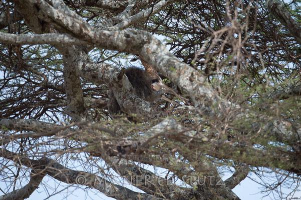 Nachdem der 1. Pavian genug gefressen hat, macht sich der 2. an der Antilope zu schaffen...