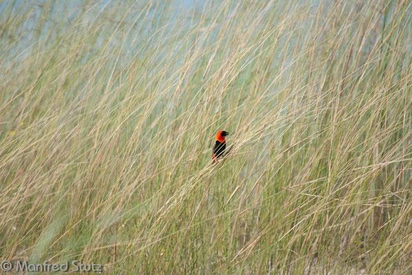 Oryxweber (Southern Red Bishop)