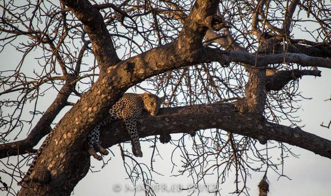 KNP: Leopard im letzten Sonnenlicht...