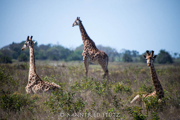 Makakatana Bay Lodge: Giraffen