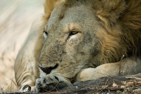 Katavi NP: König der Tiere