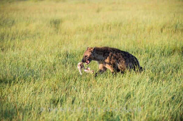 Mombo: Spotted Hyaena (Tüpfelhyäne)